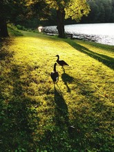 Canada Geese On Grassy Field By Lake