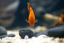 Sweetwater Aquarium Fishes