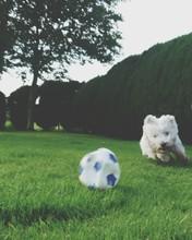 West Highland White Terrier Ru...