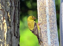 Close-up Of American Goldfinch Perching On Bird Feeder