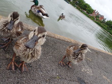 Tilt Image Of Ducks At Riverbank