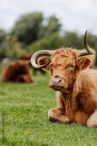 Fototapeta Highland Cattle Sitting On Grass obraz