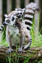 Lemurs Sitting On Tree Bark At...