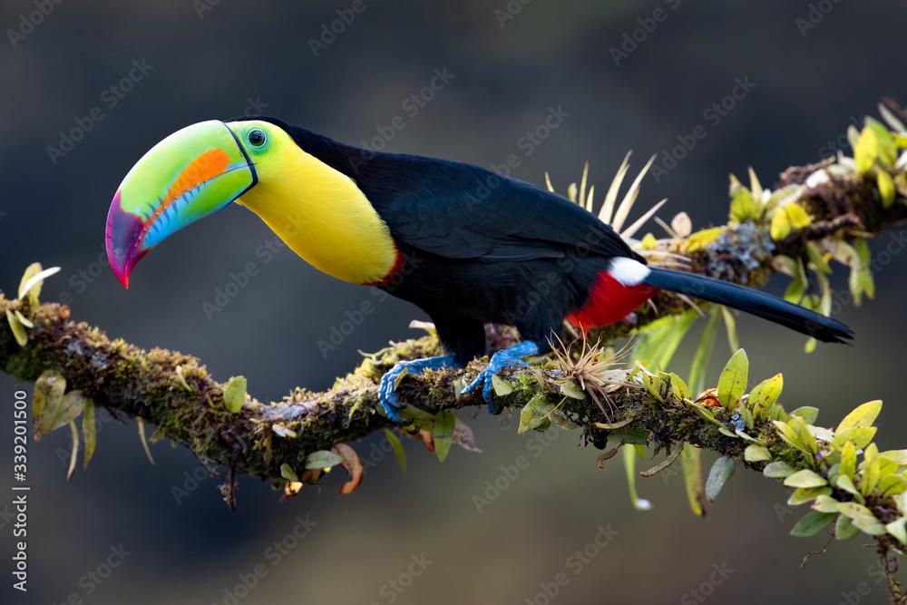 Fototapeta Keel-billed toucan (Ramphastos sulfuratus), closeup perched on a mossy branch in the rainforests, Boca Tapada, Laguna de Lagarto Lodge, Costa Rica