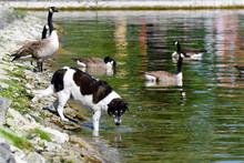 Hund Und Gänse Am See