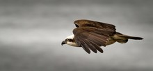 Close-up Of Osprey Flying In Sky