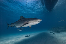 Tiger Shark In Blue Water