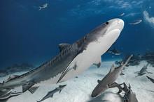 Tiger Shark In Transparent Wat...