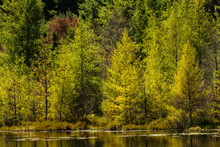 Mid-September, The Shoreline Tamaracks Are Starting To Change Colors At A Small Roadside Lake Near Boulder Junction, Wisconsin