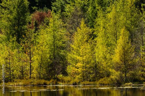 Obraz na płótnie Mid-September, the shoreline tamaracks are starting to change colors at a small