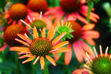 Close-up Of Orange Coneflowers Blooming Outdoors