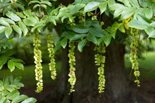 The Hanging Fruits Of The Japa...