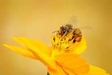 Image Of Bee Or Honeybee On Ye...