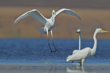 Fototapeta Eko The Great Egret lands on the blue water next to other birds and close to them