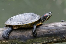Close-up Of Turtle On Fallen Tree