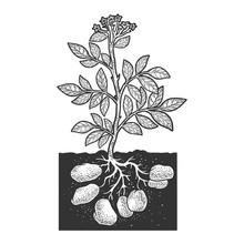 Potato Plant Root Vegetable Sk...