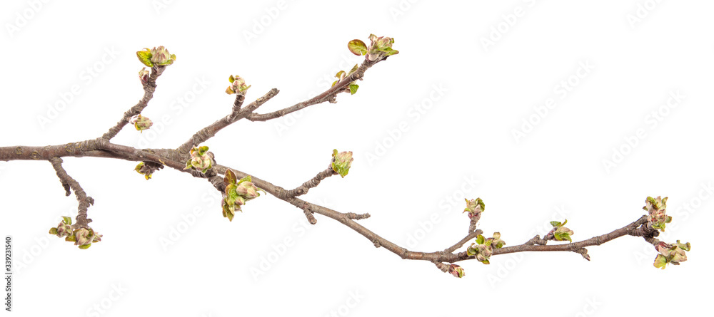 Fototapeta Apple tree branch on an isolated white background. Fruit tree sprout with leaves isolate.