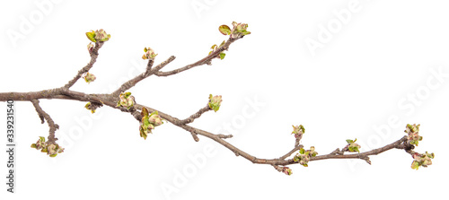 Fotografia Apple tree branch on an isolated white background