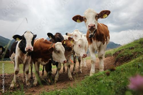 Carta da parati cows in a pasture
