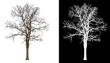 Isolated Tree Without Leaves On White Background