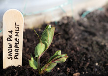 """Snow Pea Plant Seedling. Close Up Of Heirloom Pea Seed """"Purple Mist"""". Leaves Are Green With Purple Detail. Pea Flowers And Pods Will Have Stunning Unusual Purple Color. Wooden Name Tag."""