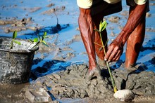 Midsection Of Man Planting Mangrove Seedling Wet Field