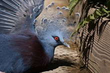 Close-up Of Victoria Crowned Pigeon