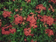 High Angle View Of Ixora Blooming On Field