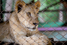Young Lioness Is Lying In Cage