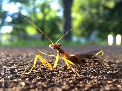Fotografie, Obraz Close-up Of Praying Mantis On Road