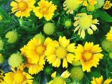 Close-up Of Yellow Gaillardia Flowers Blooming Outdoors