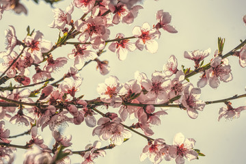 Fototapeta Do salonu Delicate pink peach blossom. Spring holiday card