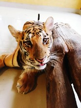 Portrait Of Tiger Cub Relaxing By Wood