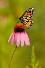 Monarch Butterfly Feeding Off ...