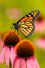 Monarch Butterfly Feeding Off A Purple Coneflower Within The Pike Lake Unit, Kettle Moraine State Forest, Wisconsin, In Mid-August Morning