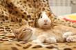 kitten and guinea pig