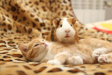 Kitten And Guinea Pig