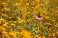 A Monarch Butterfly Lands Casu...
