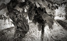 Fresh Grapes In Vineyard