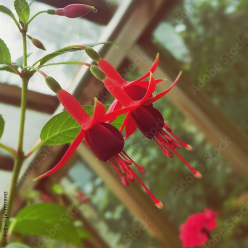 Fotografia Low Angle View Of Fuchsias Blooming In Garden