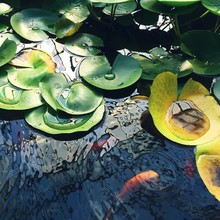 High Angle View Of Goldfish Swimming By Lily Pads Floating In Pond