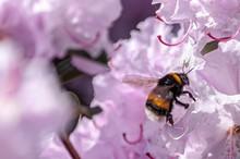 Closeup Shot Of  Bumblebee On ...
