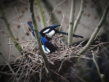 Black-billed Magpies In Nest On Tree