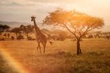 Fototapeta Sawanna - Giraffe at sunset near a tree in Serengeti National Park in Tanzania during safari with colourful background