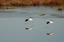 American Avocets Flying Over Lakeshore