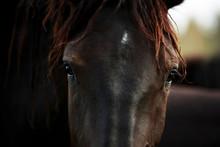 Half Wild Horse Norik Muransky Type Living In Slovakian National Park Muranska Planing, Cold Blooded Brown Horse Portrait, Horse Eyes Portrait