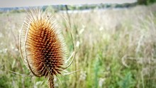 Close-up Of Dry Thistle On Field