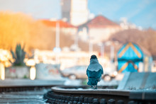 Grey And Black Raven Walking On Metal Rusted Train Tracks. Outline Of Wagons And Saint Dominus Cathedral In Split In The Distance