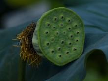 Close-up Of Lotus Seedpod And Leaf