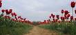 Campo di tulipani rossi nella campagna in Olanda
